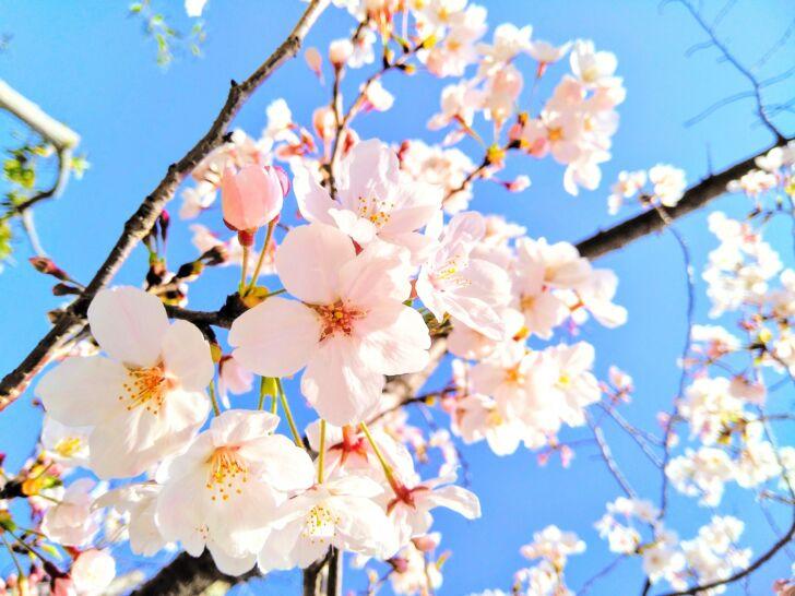 4月の桜の様子